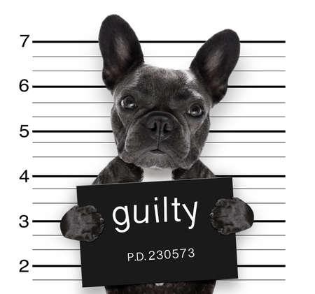 Mugshot criminal del perro del dogo francés en la estación de policía que lleva a cabo el cartel culpable, aislado en fondo Foto de archivo