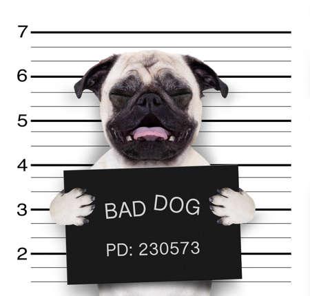 criminal mugshot  of pug  dog at police station holding placard , isolated on background