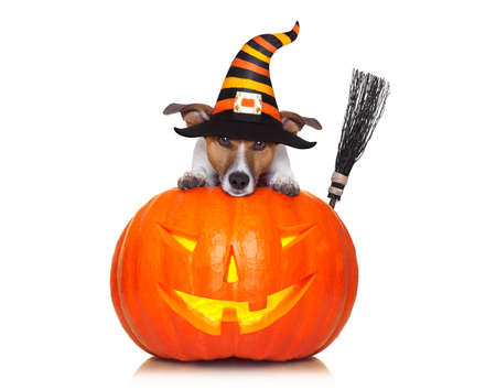 halloween devil jack russell dog on top of pumpkin, scared and frightened, isolated on white background