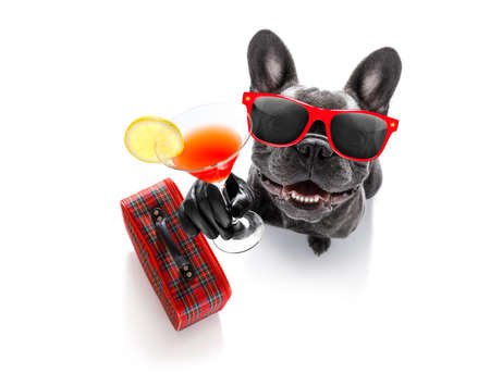 cool drunk french bulldog  dog cheering a toast with cocktail drink , looking up to owner ,ready to go on vacation holidays