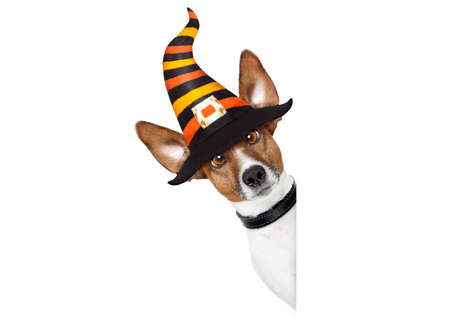 Halloween devil jack russell dog  scared and frightened, behind  a blank empty banner or placard, isolated on white background, wearing a witch hat