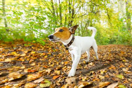 Jack Russell perro corriendo o caminando junto con el propietario al aire libre en el parque o bosque en otoño, hojas de otoño en el suelo (foto de poca luz)