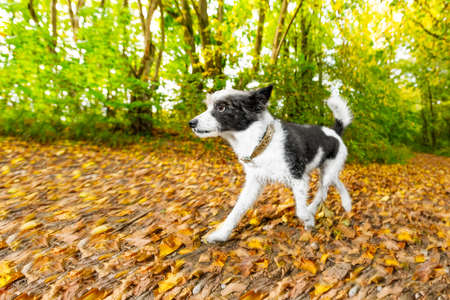 poodle dog running or walking together with owner outdoors at the park or forest in autumn, fall leaves all around on the ground(low light photo) Stock Photo