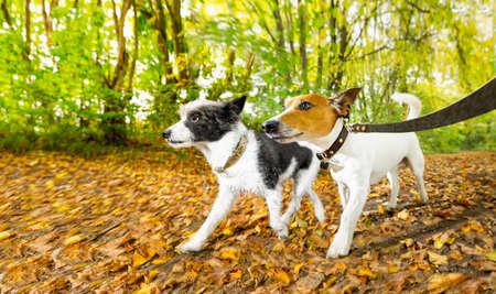 coppia di due cani che corrono o camminano insieme con il proprietario al guinzaglio, all'aperto nel parco o nella foresta in autunno, cadono le foglie tutt'intorno a terra