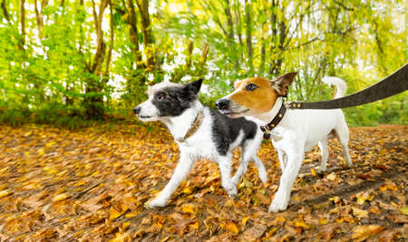 couple of two dogs running or walking together with owner on leash, outdoors at the park or forest in autumn, fall leaves all around on the ground