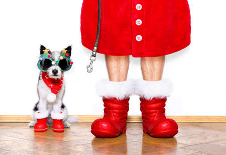 funny christmas  santa claus poodle   dog isolated on white background with  red  boots for the holidays waiting and sitting to go for a walk with leash