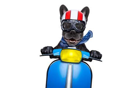 Crazy tonto moto bulldog francés perro con casco y gafas, montando y conduciendo una motocicleta, aislado sobre fondo blanco.