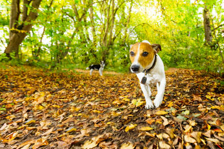 jack russell dog running or walking together with owner outdoors at the park or forest in autumn, fall leaves all around on the ground