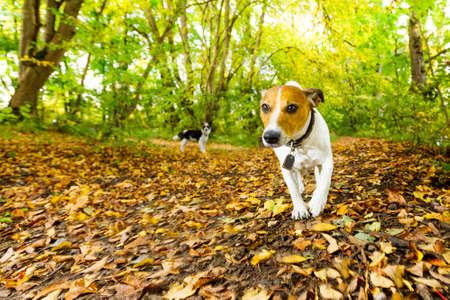 obediencia: Jack Russell perro corriendo o caminando junto con el propietario al aire libre en el parque o bosque en otoño, hojas de otoño en el suelo