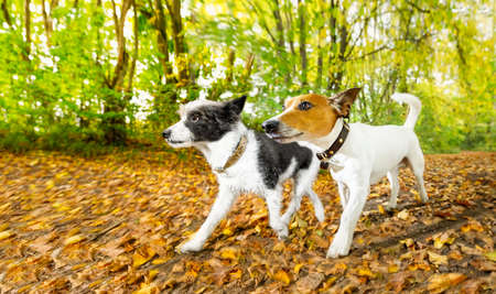 couple of two  dogs running or walking together with  owner , outdoors at the park or forest in autumn, fall leaves all around on the ground Stock Photo
