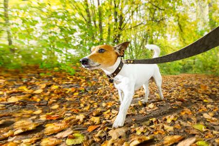 obediencia: Jack Russell perro corriendo o caminando juntos con el propietario, con correa, al aire libre en el parque o bosque en otoño, hojas de otoño en el suelo