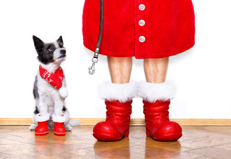 wait: funny christmas  santa claus poodle   dog isolated on white background with  red  boots for the holidays waiting and sitting to go for a walk with leash