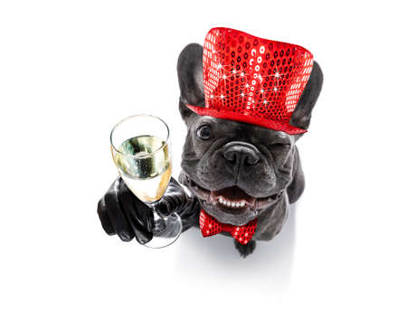 french bulldog dog celebrating new years eve with owner and champagne  glass isolated on white background , wide angle view