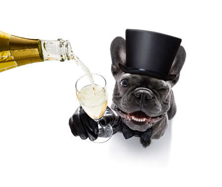 pet services: french bulldog dog celebrating new years eve with owner and champagne  glass isolated on white background , wide angle view