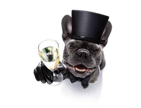 pet services: french bulldog dog celebrating new years eve with champagne  glass isolated on white background , wide angle view