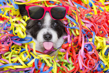 poodle: poodle dog having a party with serpentine streamers, for birthday or new years eve sticking out the tongue wearing sunglasses Stock Photo