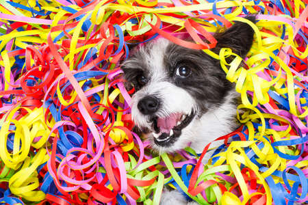 serpentinas: poodle dog having fun and  a party with serpentine streamers, for birthday or happy new year  , laughing