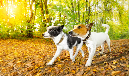couple of two  dogs running or walking together with  owner , outdoors at the park or forest in autumn, fall leaves all around on the ground,  lens flare as back light