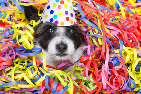 poodle: funny poodle dog having fun and a party with serpentine streamers, for birthday or happy new year  wearing a hat
