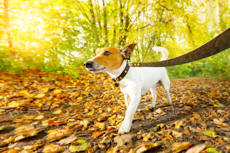 jack russell dog running or walking together with owner , on leash, outdoors at the park or forest in autumn, fall leaves all around on the ground, lens flare as back light