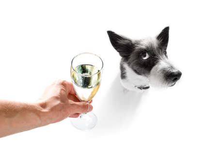 poodle: poodle dog celebrating new years eve with owner and champagne  glass isolated on white background