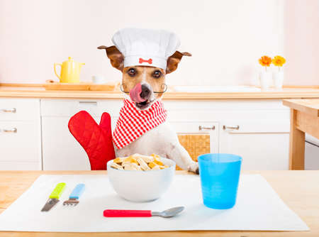 funny hungry jack russell dog  in kitchen cooking or eating on table with  white chef hat Stock Photo