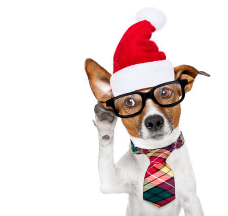 jack russell boss or business dog listening with one ear very carefully at christmas holidays with santa claus hat and reading glasses