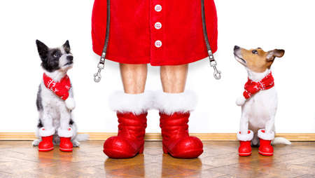 christmas  santa claus couple of  dogs isolated on white background with  red  boots for the holidays waiting and sitting to go for a walk with leash