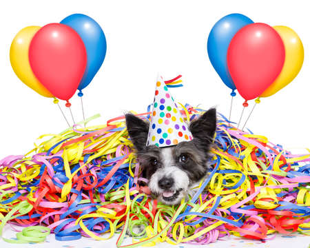 poodle dog having fun   with serpentine streamers, for birthday party wearing a hat ,  isolated on white background with balloons Stock Photo
