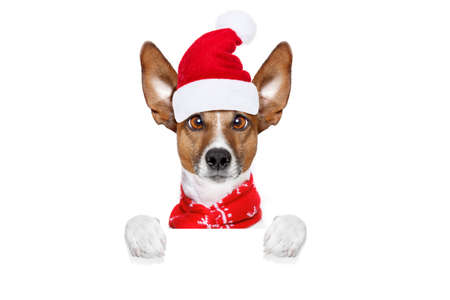 christmas  santa claus  jack russell dog isolated on white background with  red  hat , behind  white banner blank placard, funny crazy  silly eyes Stock Photo