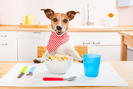 pet services: funny hungry jack russell dog  in kitchen cooking or eating on table , smacking Stock Photo