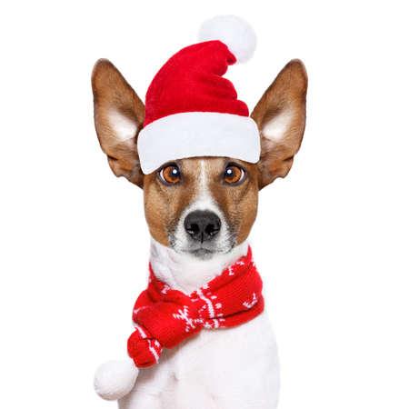 クリスマス サンタ クロース ジャック ラッセル犬赤い休日帽子、面白い狂気の愚かな目と白い背景の分離