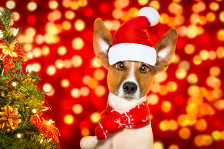 botas de navidad: christmas  santa claus  jack russell dog with blur lights  background with  red  hat , behind  ,xmas decoration tree funny crazy silly eyes