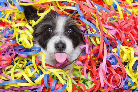 poodle dog having a party with serpentine streamers, for birthday or happy new year, sticking out the tongue