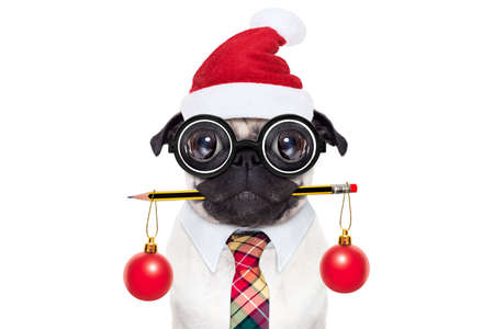 dumb crazy pug dog with nerd glasses as an office business worker with pencil in mouth , isolated on white background, on christmas holidays vacation with santa claus hat