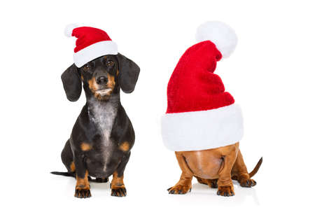 sitting and obedient couple of two dachshund or sausage santa claus dogs with red  christmas hat , isolated on white background Stock Photo