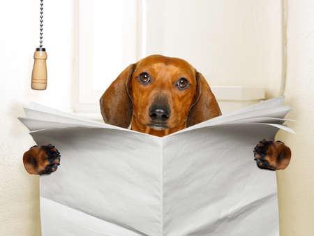 perro salchicha salchicha divertido sentado en el inodoro y leer revista o periódico con estreñimiento, papel vacío en blanco