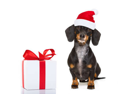 botas de navidad: funny dachshund sausage  santa claus dog on christmas holidays wearing red holiday hat, isolated on white background with a present or gift box