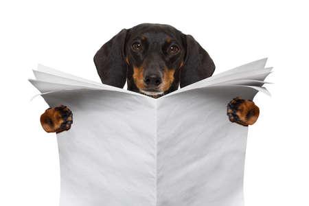 dachshund sausage dog reading an empty blank newspaper magazine , isolated on white background
