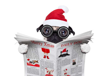 dumb crazy pug dog with nerd glasses as an office business worker, isolated on white background, on christmas holidays vacation with santa claus hat ,reading a newspaper or magazine