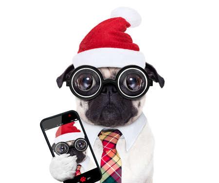 Chien carlin fou stupide avec lunettes nerd comme un employé d'entreprise de bureau, isolé sur fond blanc, vacances de Noël vacances avec chapeau de père Noël, prenant un selfie Banque d'images - 88607178