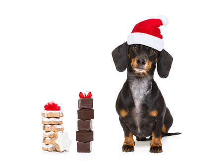 wait: funny dachshund sausage  santa claus dog on christmas holidays wearing red holiday hat, isolated on white background, cookies or treats Stock Photo