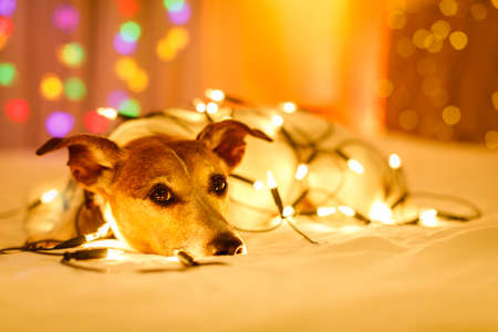 jack russell dog resting and enjoying this christmas holidays with fancy fairy lights