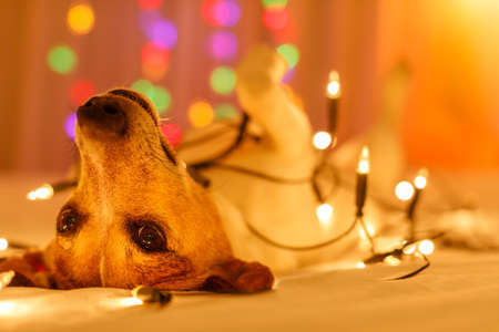 jack russell dog resting and enjoying this christmas holidays with fancy fairy lights and looking cute at you ( low light photo)
