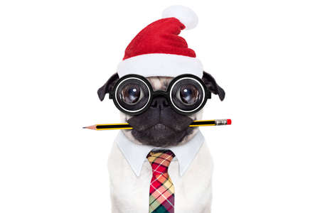 authors: dumb crazy pug dog with nerd glasses as an office business worker with pencil in mouth , isolated on white background, on christmas holidays vacation with santa claus hat