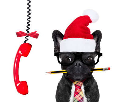 office businessman french bulldog dog with pen or pencil in mouth   isolated on white background, on christmas holidays vacation with santa claus hat, a  telephone hanging Stock Photo