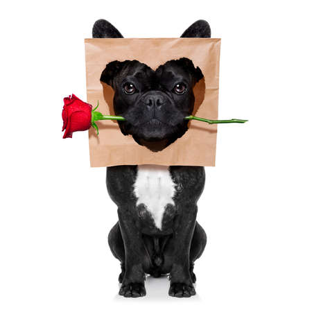 funny french bulldog dog,in love,looking  to owner with red rose in mouth  for valentines day ,  isolated on white background