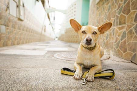 치와와 강아지 재생 하 고 야외에서 가죽 끈 산책을 위해 소유자를 기다리고 스톡 콘텐츠