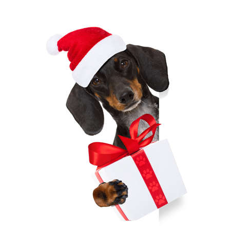 funny dachshund sausage santa claus dog on christmas holidays wearing red holiday hat, isolated on white background, behind a banner or blackboard placard frame