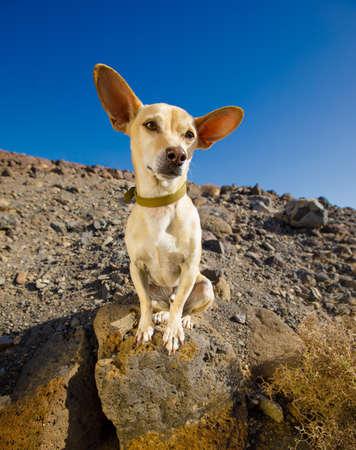 Perro Chihuahua mirando y mirando al propietario listo para salir a caminar al aire libre y al aire libre en la montaña del desierto